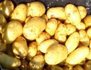 kartofel-latona