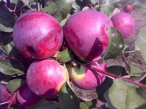 Яблоки Либерти