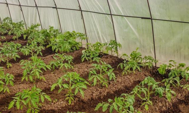 Благоприятные дни для посадки рассады помидоров