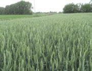 посадка пшеницы.,
