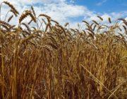 пшеница яровая,