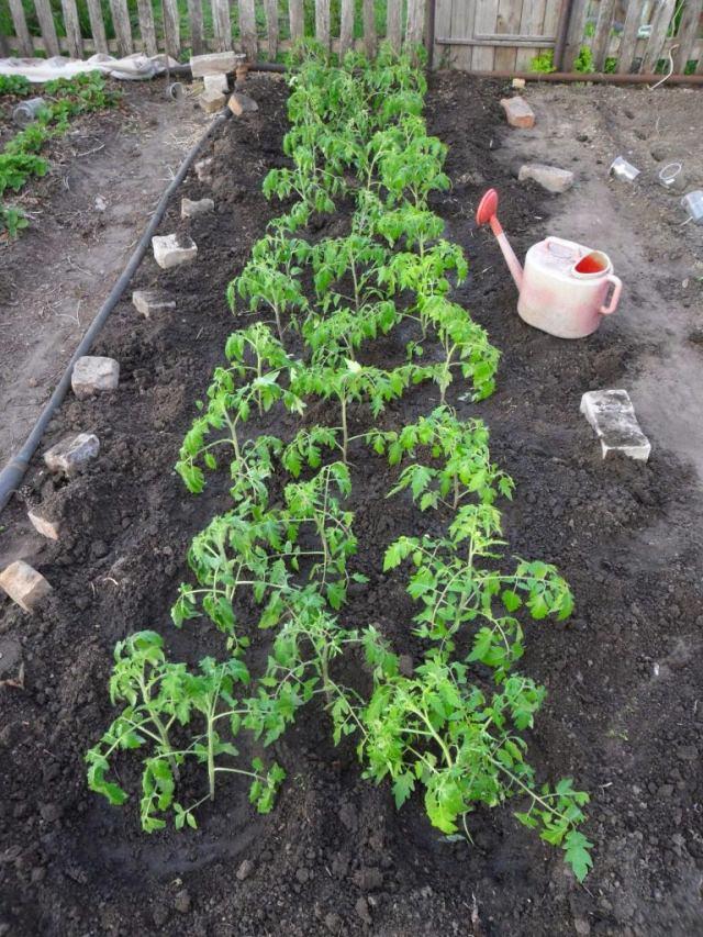 помидоры-Подмосковье,,