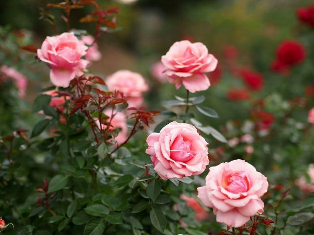 Розы посадка и уход в открытом грунте в подмосковье
