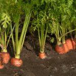 Когда сажать морковь на Урале