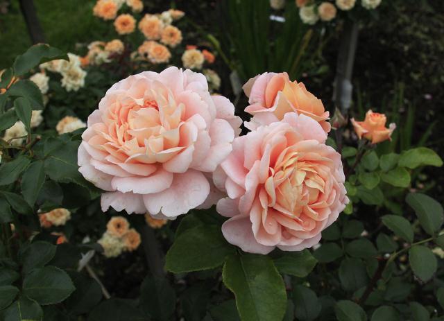 розы-сибирь,,