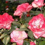Когда сажать розы в Сибири (весной, осенью)