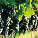 Когда сажать виноград в Подмосковье (весной, осенью)