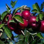 На каком расстоянии сажать яблони друг от друга