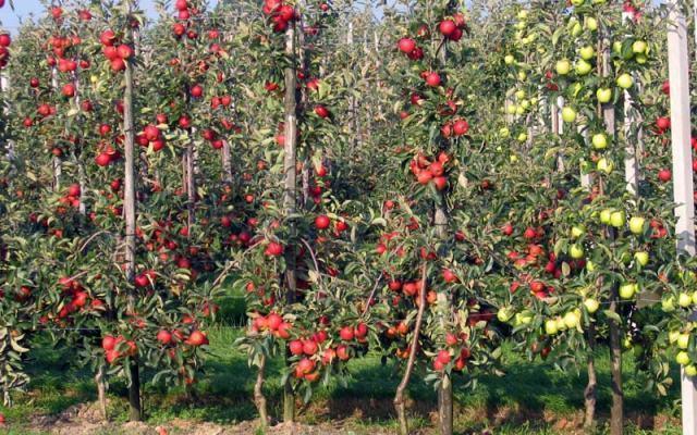 яблони,