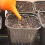 Как поливать рассаду помидоров после всходов