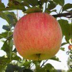 Яблоня зимняя — Ароматное: описание сорта