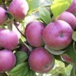 Крупноплодная яблоня Баяна: описание сорта