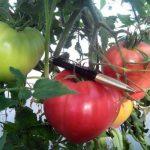 Томат Абаканский розовый: описание сорта, выращивание и уход