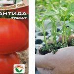 Томат Атлантида: описание сорта, отзывы, фото, выращивание