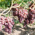 Виноград Ливия: описание сорта