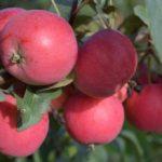 Алтайская яблоня Антоша: описание сорт, осадка и уход, фото