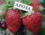 Клубника Ароза (Ароса Arosa): описание сорта