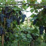 Виноград Амурский Потапенко: описание сорта