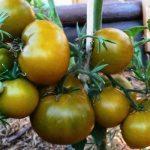 Томат зеленоплодный — Болото: описание сорта