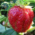 Клубника Рубиновый кулон: описание сорта