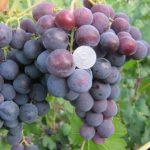 Виноград Рошфор: описание сорта