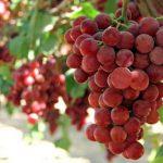 Виноград Гурман: описание сорта