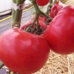 Томат Афен: описание сорта, выращивание, фото