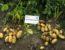 Картофель Королева Анна: описание сорта