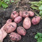 Лучшие сорта картофеля для средней полосы России с описанием