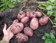 картофеля-для-средней-полосы-России.