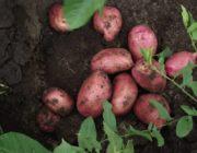 сорта-картофеля.