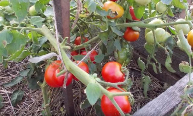 томаты-Подмосковье,