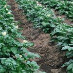 После чего можно сажать картофель: лучшие предшественники картофеля