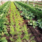 Что посадить рядом с морковью в открытом грунте на одной грядке