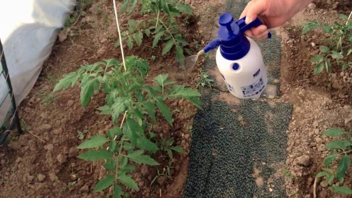 обработка-рассады-томата.