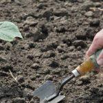 Когда высаживать рассаду огурцов в открытый грунт в 2019 году