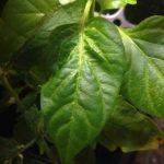 Почему белеют листья у рассады перцев