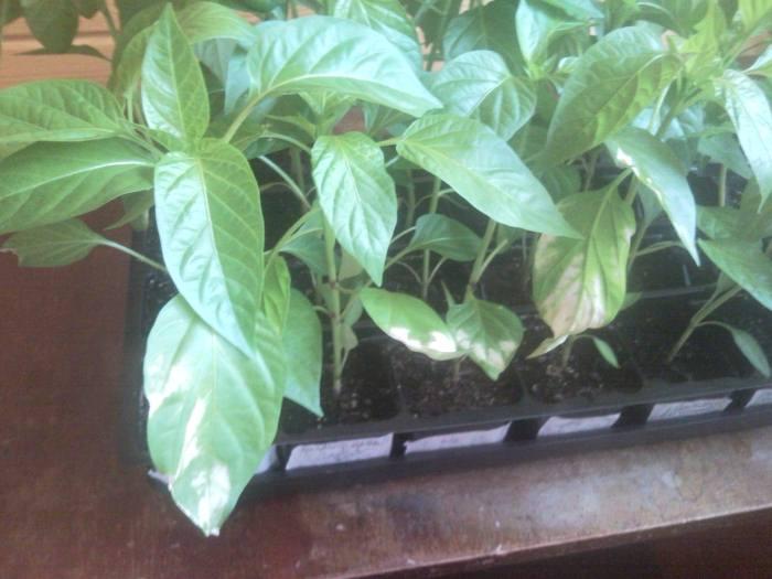 перец-белееют-листья