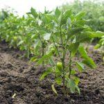 На какую глубину высаживать рассаду перца в открытый грунт