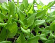 петуния-скручиваются-листья