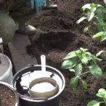 Чем обработать рассаду перцев после высадки в открытый грунт