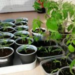 Как предотвратить вытягивание рассады томатов