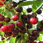 Благоприятные дни для посадки вишни в 2019 году