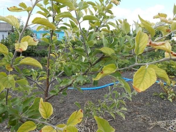 Почему желтеют листья на яблоне летом, как бороться