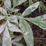 На листьях пиона появился белый налет: причины, что делать