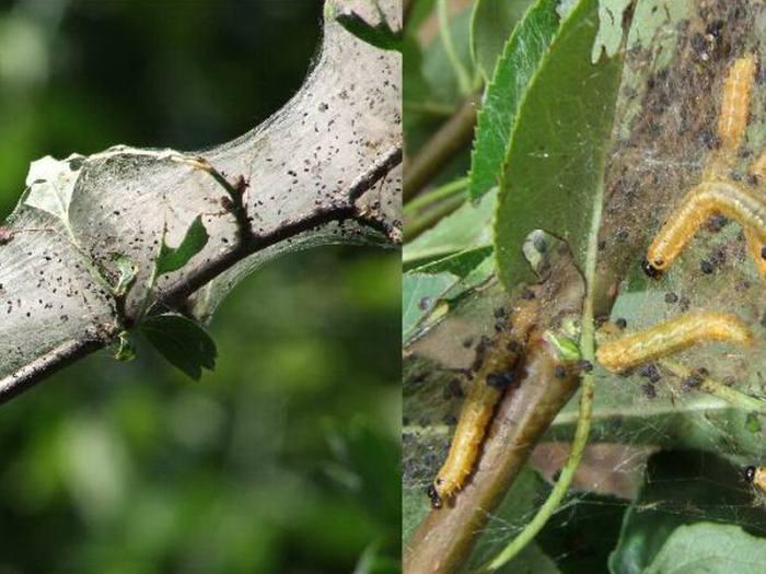 На вишне появились гусеницы, как бороться