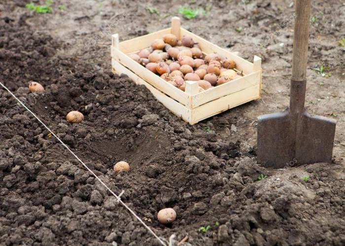 На каком расстоянии сажать картофель друг от друга