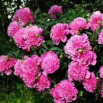 Почему не цветут пионы одни листья
