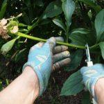 Когда обрезать пионы после цветения на зиму