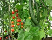 огурцы-после-помидоров